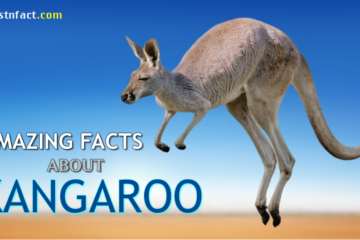 Amazing Facts about Kangaroo